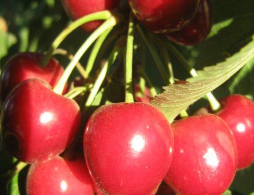 קטיף עצמי אודם קטיף דובדבנים ופירות יער בגולן
