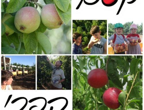 קטיף עצמי בגולן קסם הפרי – חוויית קטיף פירות עצמי לכל המשפחה